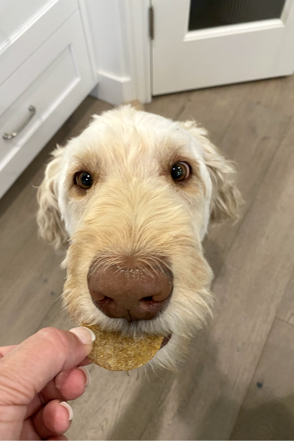 feeding a dog a biscuit
